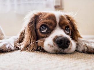 sad looking dog in home